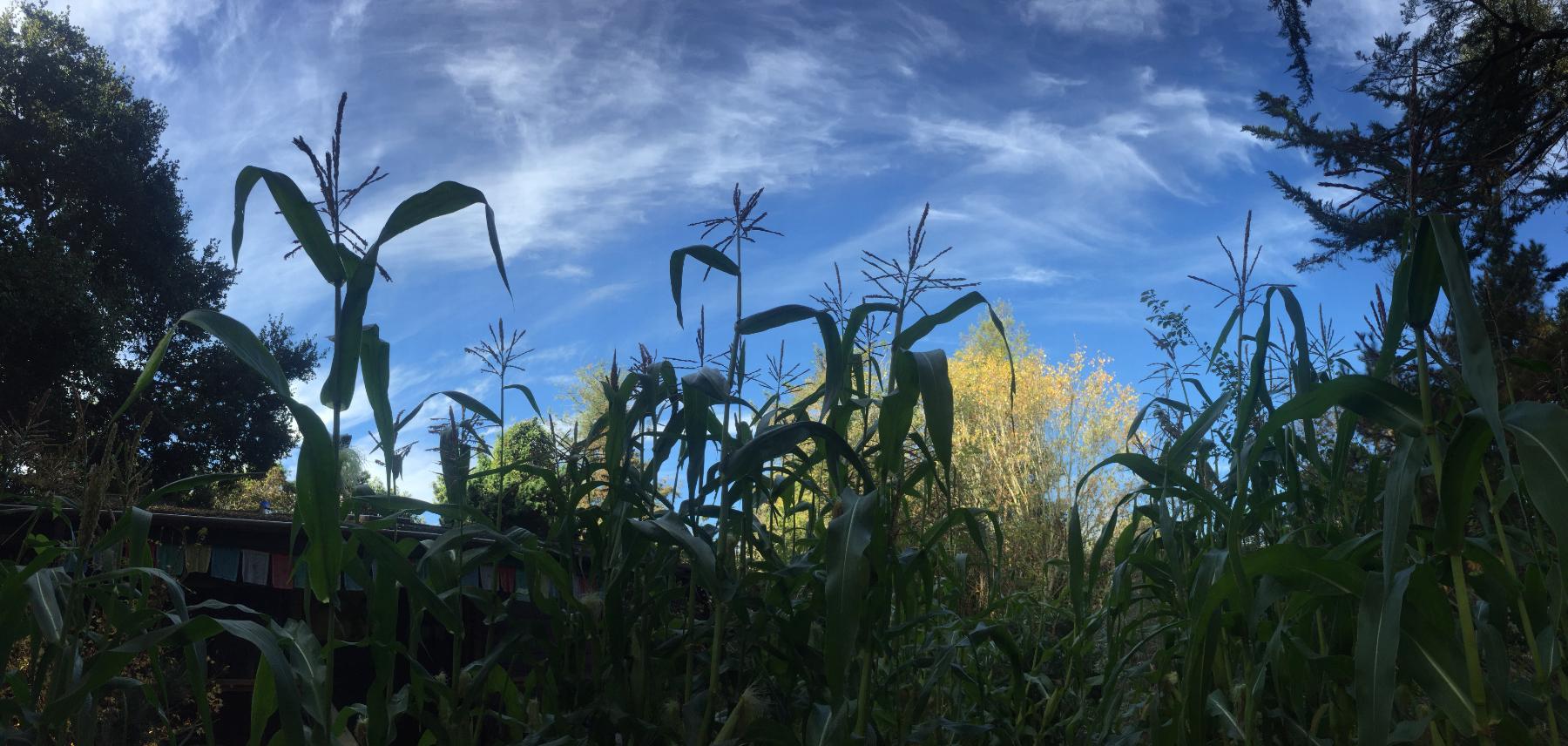 sky corn